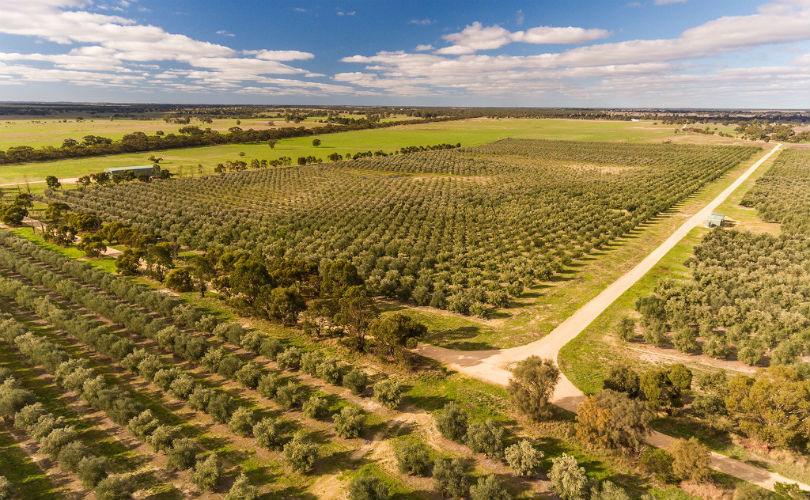 An aerial view of the olive groves at Pendleton Fine Foods