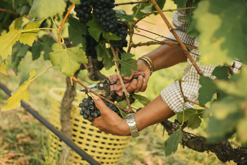 Grapes in warmer climates tend to develop diseases or bug infestations more easily.