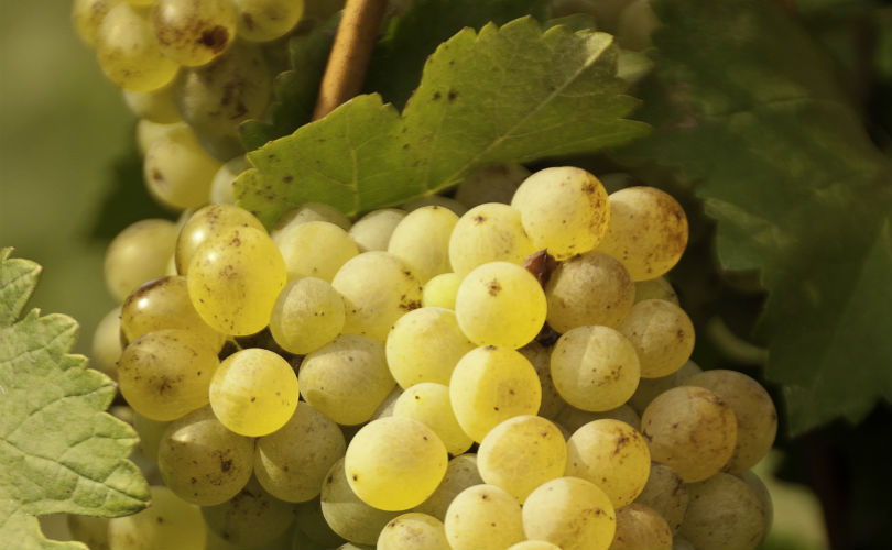 By using their own liquid compost, GranMonte has produced better quality grapes and healthier vines.