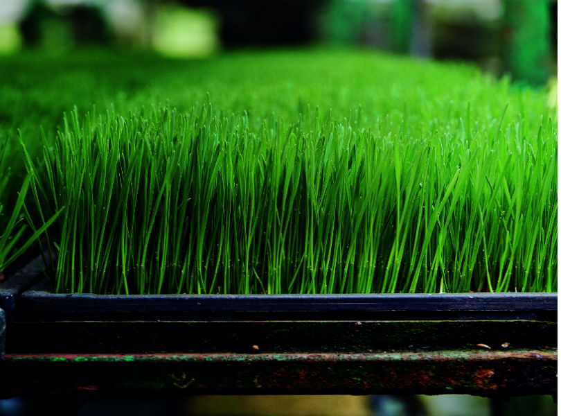 Wheatgrass touts a wide range of benefits, containing 17 different amino acids, vitamins A, C, E and B, as well as large amounts of chlorophyll