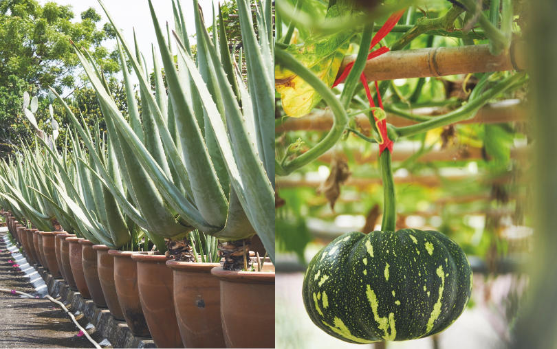 (Left) Rows of aloe vera line the roads around the farm land. (Right) The organic pumpkin that they grow on the side.
